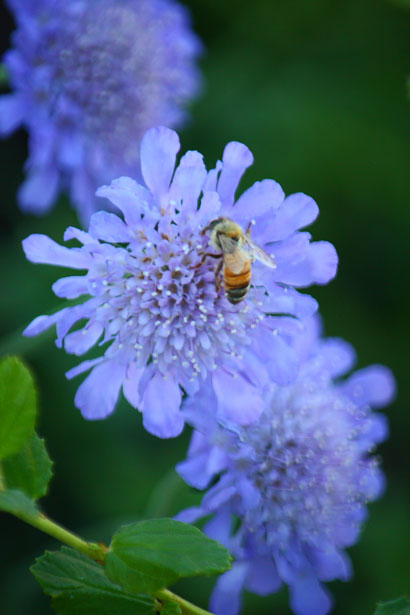 Honey bees are important, because they pollinate flowers.