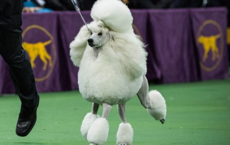 Top 10 dog breeds to watch for during the annual post-parade dog show
