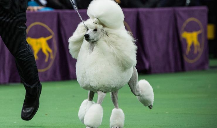 Many Americans look forward to seeing the different breeds in the dog show.